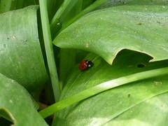 Coccinelle/ Ladybug (delphinecingal) Tags: jardin garden cesson coccinelle ladybug