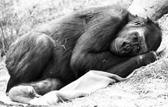 Resting (chrisroach) Tags: wildlife primates calgary mammal alberta countries canada calgaryzoo gorilla monochrome blackandwhite bw blackwhite