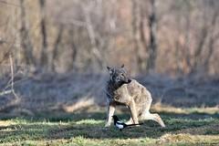 Uległość.... Wilk ( Canis lupus ) WOLF (Zdjęć kilka...) Tags: bieszczady marzec 2017 wilk canis lupus wolf
