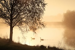 EARLY MORNING LIGHT (midlander1231) Tags: earlymorninglight earlymorningmist spring springmists worcestershire landscape water duks geese trees pond reflection reflections nature