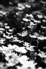 Spring is here. (Gaetan682) Tags: f17 bokeh noiretblanc nb blackandwhite bw flower fleurs spring me follow a6k a6000 alpha6000 emount sony contemporary f14 30mm sigma