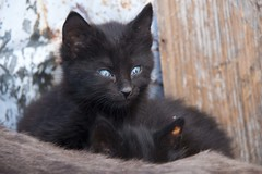 Even cat's eyes are blue in Chaouen (ramosblancor) Tags: naturaleza nature animales animals pets gatos cats streetcats kitty cachorro negro black color ojos eyes azul blue chefchaouen marruecos morocco