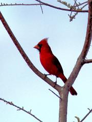 Northern Cardinal 20170422 (Kenneth Cole Schneider) Tags: florida miramar westmiramarwca