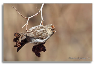 103A1645-DL   Sizerin flammé / Common Redpoll.