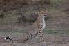 Cheetah (Hector16) Tags: africa olareorokconservancy kenya wildlife kicheche olare masaimara narokcounty ke gettyimages