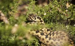 IMG_8025 (Sula Riedlinger) Tags: snake nature wildlife wildlifephotography reptile ukwildlife uknature ukreptile surreywildlife surreyheathland herpetology adderviperaberusalsoknownasviper