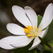 Blood Root (Robert Stone Nature Photography) Tags: berkshires bartholomewscobble bloodroot