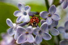 Ladybug (WhiteShipDesign) Tags: purple red macro ladybug insect nature ladybird green plant bug natural spring season background flower lilac garden color floral blooming bunch violet blue hidden horizontal closeup bokeh