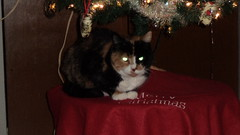 Autumn (universalcatfanatic) Tags: cats autumn tortoiseshell tortie calico orange black white cat lay laying under underneath christmas tree pine red blanket green garland ornament ornaments light lights xmas fake closet door artificial glow glowing eyes eye brown wood wooden cord cords wire wires
