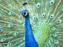 Pavo real (RocioSM1) Tags: verde color volar spain mephoto azul blue eyes eye green colors colores pajaro ave plumas fotoave fotoanimal photoanimal pic imagen capture awesome iloveanimal look like camera camara canon pavoreal animal