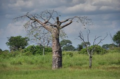 baobab (Cybergabi) Tags: tanzania africa 2016 baobab tree mikumi nationalpark safari