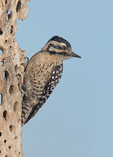 Ladder-backed Woodpecker female Elephant head pond az