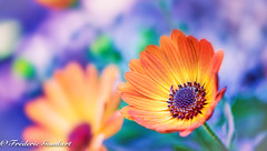 Happy colors (frederic.gombert) Tags: flower flowers pink orange color colored macro spring light sunlight blue
