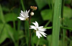 Lithophragma affine (TJ Gehling) Tags: plant flower saxifragales saxifragaceae woodlandstar sanfranciscowoodlandstar lithophragma lithophragmaaffine canyontrailpark elcerrito