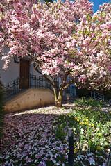 falling Leaves (Rene'D.) Tags: 2016 saucer magnolia tree wien vienna austria blossom bloom fourish spring ma42 stadtgartenamt flourisch frühling awake awaken