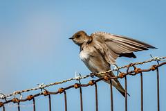 Northern Rough-winged Swallow (Bob Gunderson) Tags: alamedacounty arrowheadmarsh california eastbay locationofphoto northerncalifornia