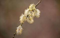 Pussy Willow (riggy-riggo) Tags: pussywillow tree woodland nature spring pollen flowers blossom riggyriggodebbierigden deborahrigden canon5dmarkll sigma 150500mm