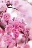 梅 (yuuichi akimoto) Tags: 梅 枝垂れ梅 呉服枝垂れ