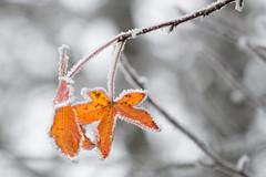 Orange frozen (luigig75) Tags: frozen ghiaccio leafs nature cold winter ice snow galaverna givre brouillard givrant brina albero foglie congelati branches landscape natura france francia 70d canon canonef70200mmf4lusm