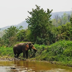 Just an elephant chillin by itself on the side of a stream . . . #southeastasia #wanderlust #chiangmai #thailand #travelasia #locationindependent #cluelessnomad #digitalnomad #globetrotter #travelgram #elephant #bamboorafting #northernthailand #instagood (cluelessnomad) Tags: just an elephant chillin by itself side stream southeastasia wanderlust chiangmai thailand travelasia locationindependent cluelessnomad digitalnomad globetrotter travelgram bamboorafting northernthailand instagood instatravel picoftheday