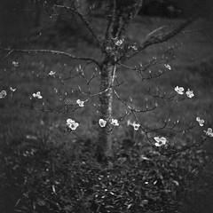 looking down, blossoms, small tree, Asheville, NC, Ricohflex Dia M, Fomapan 200, Ilford Ilfosol 3 developer, 4.7.17 (steve aimone) Tags: blossoms tree lookingdown asheville ricohflex ricohflexdiam ricohflexdiam80mmf34 tlr twinlensreflex 120 film 120film mediumformat monochrome monochromatic blackandwhite 6x6