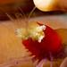 Mushroom Coral Shrimp