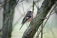 Chaffinch (1) : during a cold day in forest (Franck Zumella) Tags: bird chaffinch pinson oiseau forest hiver winter high iso