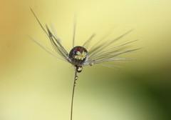 Spring droplet 2 (keiko*has) Tags: macro dandilion seed droplet macropractice
