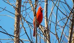 7K8A6725 (rpealit) Tags: scenery wildlife nature east hatchery alumni field hackettstown northern cardinal bird