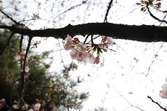 IMG_3268 (digitalbear) Tags: sophia university jochidaigaku yotsuya tokyo japan sakura cherry blossom kiminonawa your name yourname suga shrine jinja movie animation