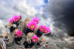 Echinocereus in posa (Paolo Bonassin) Tags: cactaceae cactacee cactus succulente flowers echinocereus clouds nubi wolke sky
