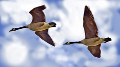 Wild Goose Chase (Bob's Digital Eye) Tags: 2017 action animals birdflight birds birdsinflight bobsdigitaleye canadageese canon canonefs55250mmf456isstm depthoffield fauna flicker flickr flight geese nature outdoor t3i waterfowl wildbird wildbirds