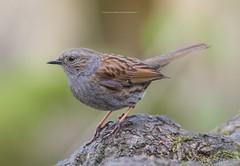 Dunnock (Emma Carr Photography) Tags: wildlife nature naturephotography wildlifephotography rsbp leightonmoss leighton moss birdnerd birds dunnock