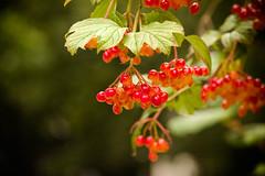 Spring (8101) (cfalguiere) Tags: datepub2017q204 bokeh spring feuille berries plante baie dof france sel20170409 nature sel20170415 sel20170422