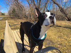 Smelling the springtime (lezumbalaberenjena) Tags: boston terrier bully dog perro chien chiot