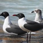 0918ex  Gull trio thumbnail