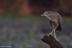 A Juvenile Night Heron !! (IQBALSIDDIQUI) Tags: night heron nightheron iqbalsiddiqui birds birds4all birdsgallery birdsloversworldwide natgeo bbcearth bbc bharatpur bharatp birdphotography wildbird greatnature india