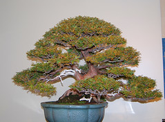 Bonsai, National Arboretum 127503 (thw05) Tags: art bonsai dc nature northamerica penjing people places thwilliamsphotography thomashwilliams thwphotoscom trees usnationalarboretum us usa washington tree plant