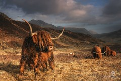 The Beast (Dave Brightwell) Tags: highlands highlandcow scotland isleofskye elgol mountains canon 6d landscape light leefilters formatthitech nisifilters sky clouds animals
