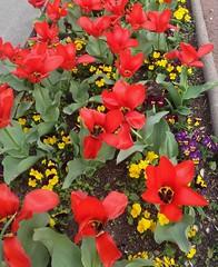 """TULIPES - PENSEES et PAVOTS (♥charlyzamour♥ """" vous remercie pour vos visite) Tags: tulipes pensees pavots fleurs couleurs"""