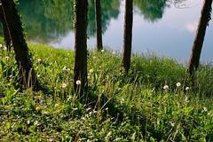 Sulla riva del laghetto (STE) Tags: soffioni fuji fujifilm xt20 dandelions