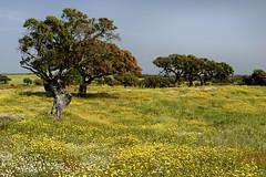 Monte das Vinhas_9be (x-lucena) Tags: viúvas alentejo azinheira quercusilex montedasvinhas