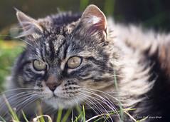 DSCF2520 Molly (Dante Guazzo Giorgio) Tags: 2016 cumiana felini gatti cats