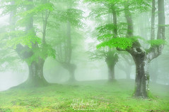 Primavera en el bosque (Mimadeo) Tags: forest fog spring wet hazy foggy foliage natural leaf misty mist beech branch nature haze landscape morning leaves green trees bark trunk light sunlight mystery mysterious fantasy fairy magic ethereal magical mystical gloomy murky unreal