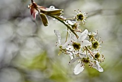 Spring Rain-Snow Mix on Serviceberry Blossoms (Ginger H Robinson) Tags: spring rain snow mixture serviceberry tree blossoms colorado macro