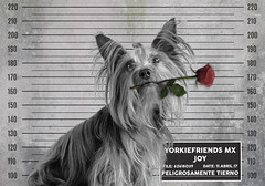 Joy con flor (Yorkiefriends MX) Tags: yorkie dog d5100 mascota yorkshire