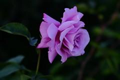 Suavidad (ameliapardo) Tags: rosas suavemalva lila plantas flores jardines naturaleza sevilla analucía españa