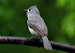 Like water off a titmouse's back. (Dale Wiley) Tags: tuftedtitmouse