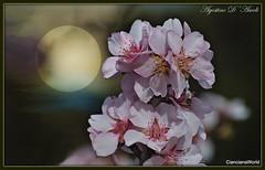 Fiori di mandorlo - Aprile-2017 (agostinodascoli) Tags: fiori fioridimandorlo nikon nikkor cianciana sicilia nature texture photoshop macro colore fullcolor creative nikonclubit