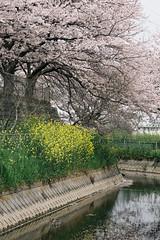 170410_030_5D3_5596 (oda.shinsuke) Tags: cherryblossom さくら 桜 flower vsco 見沼 river 菜の花